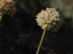 Inyo buckwheat, Eriogonum latens
