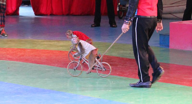 macaque grimace