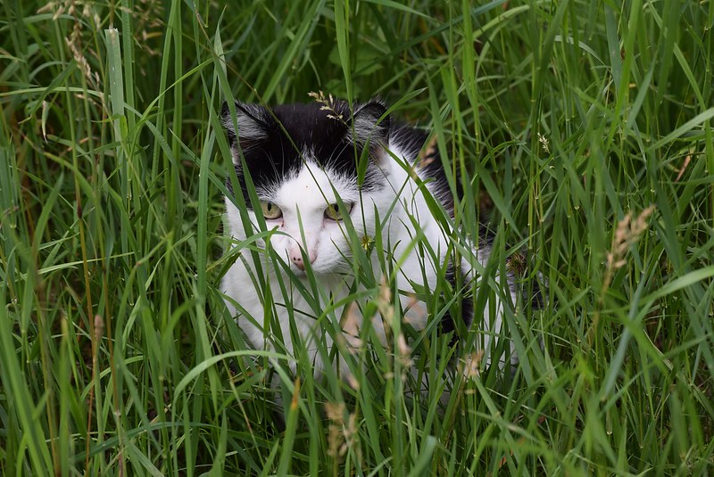 Cat in grass 31.05 (2)
