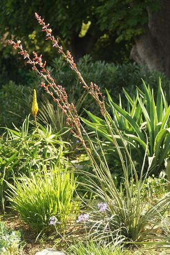 Hesperaloe parviflora - Page 2 42488720062_5189771249