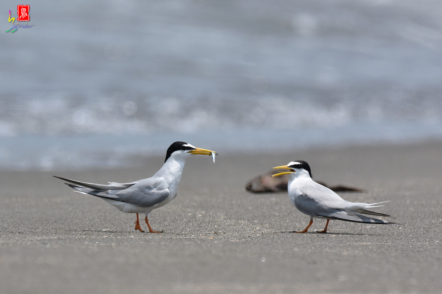 Little_Tern_8506