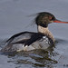 red-breasted mereganser 11 2018 male