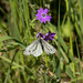 Green-veined White Butterfly  3
