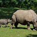 Greater One Horned Rhinoceros (Rhinoceros unicornis) by Seventh Heaven Photography
