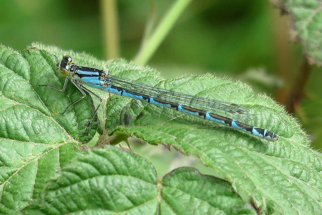 Common Blue Damselfly - Enallagma cyathigerum