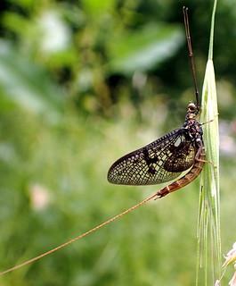 Ephemera sp. vulgata? male