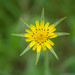 Yellow Goat's Beard (Tragopogon Dubius) by Chiew L