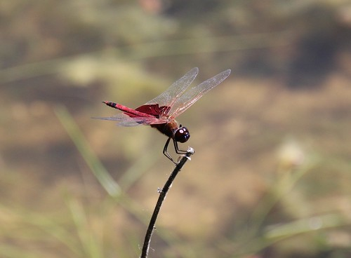 IMG_11982_Red_Saddlebags_Dragonfly