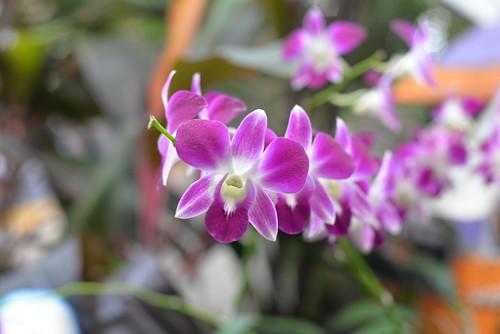 Orchids Hua Lump Bang 4-3-17 1