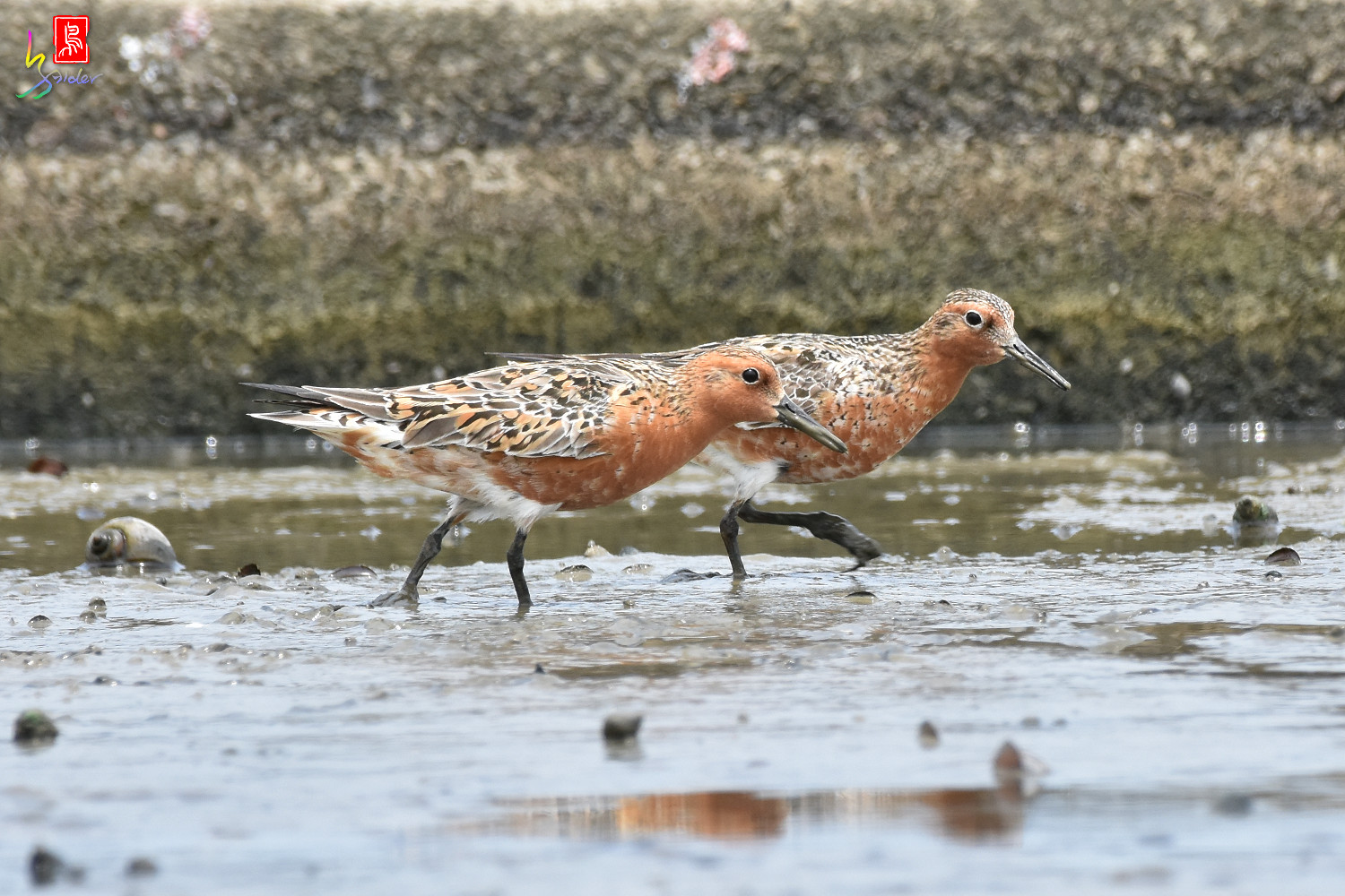 Red_Knot_0421