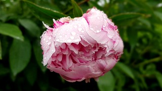 Rainy day peony
