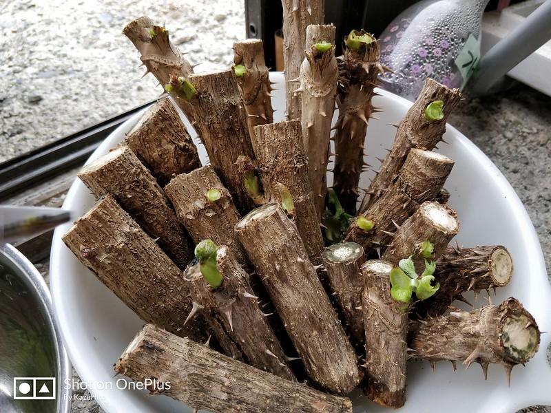 タラの芽採取 (3)