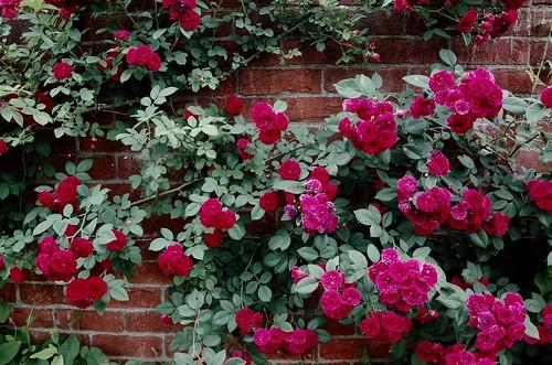 君は薔薇より美しい