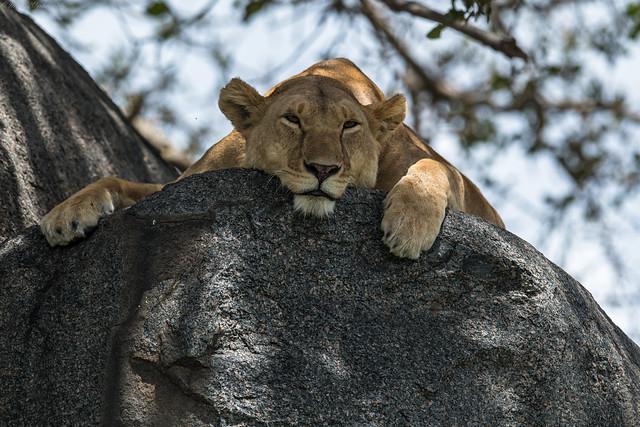 Lion Resting, Nikon D500, AF-S VR Nikkor 400mm f/2.8G ED
