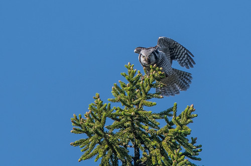 Hawk Owl