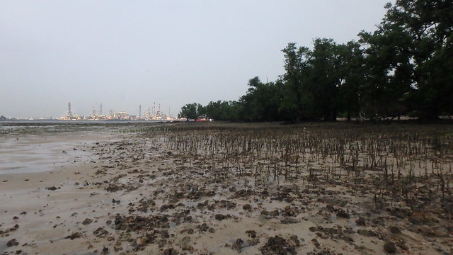 Mangrove trees on the high water line