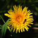 Dandelion with hoverfly