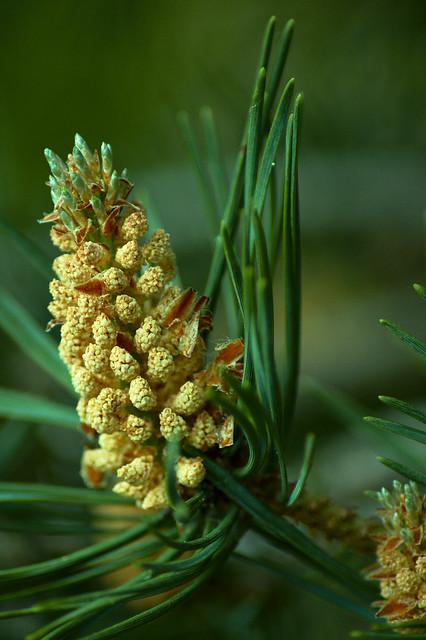 pine-cone2