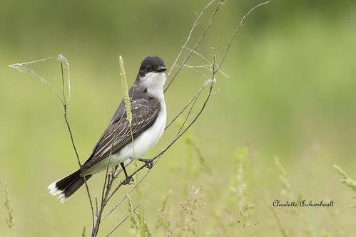 Tyran Tritri, Eastern Kingbird