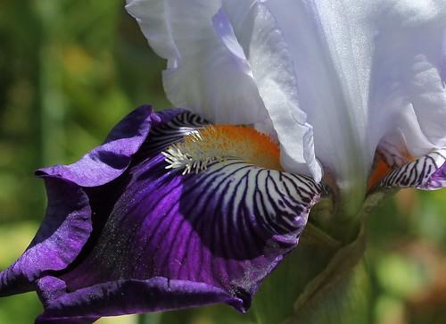 Iris 'Saint-Malo' - R-L. Vasquez-Poupin 2007 41809158724_279521b1b8