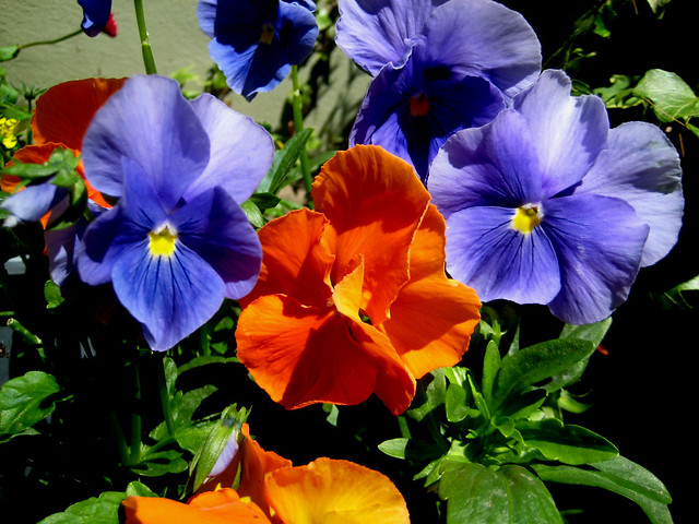 A neighbour's pansies, Canon DIGITAL IXUS 70