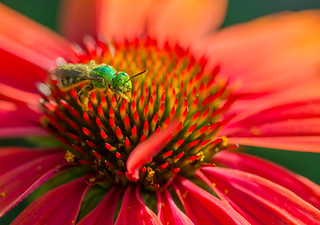 Metallic Green Sweat Bee (Agapostemon) pollinating a bright orange Echinacea flower