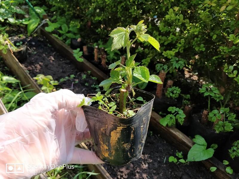 ブラックベリーの苗を作る (14)
