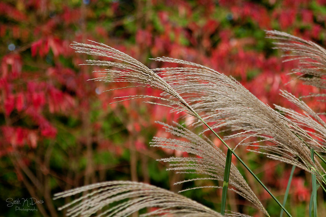 Grasses & Red Leaves