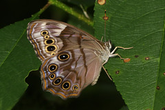 Northern Pearly-eye - Lethe anthedon, Occoquan Regional Park, Lorton, Virginia