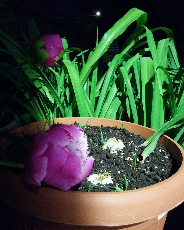 Peonies growing over garlic in the night #toronto #dovercourtvillage #gardens #garlic #flowers #peonies #pink #night