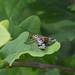 Scorpion fly at Chesworth Farm, Horsham