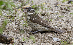 Rose-breasted Grosbeak [female]