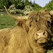 A Coo by Graham S Paton
