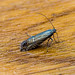 Speckled Fanner - Glyphipterix thrasonella