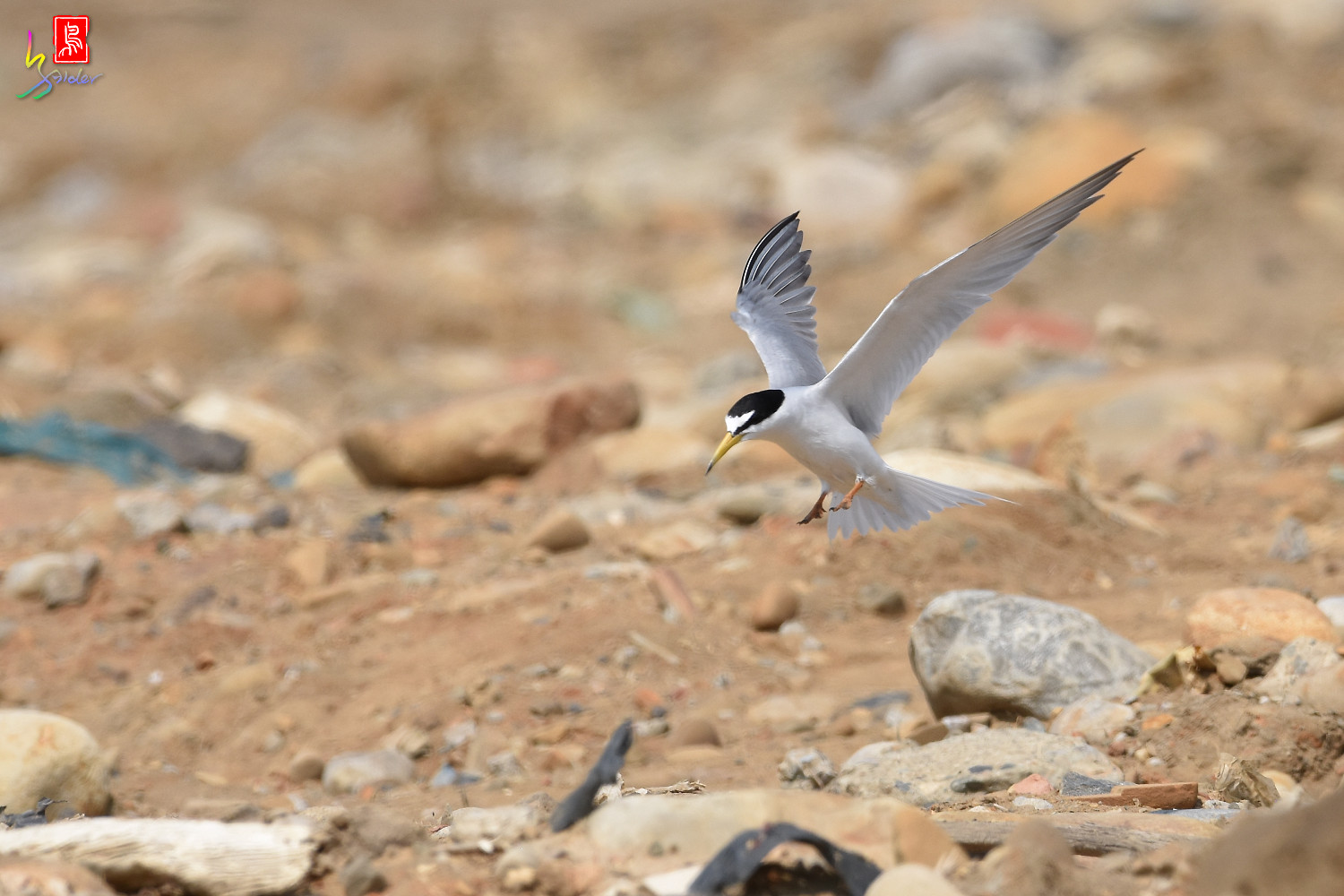 Little_Tern_0057