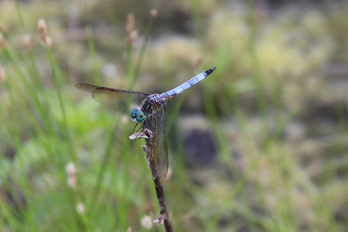 IMG_12052_Blue_Dasher_Dragonfly
