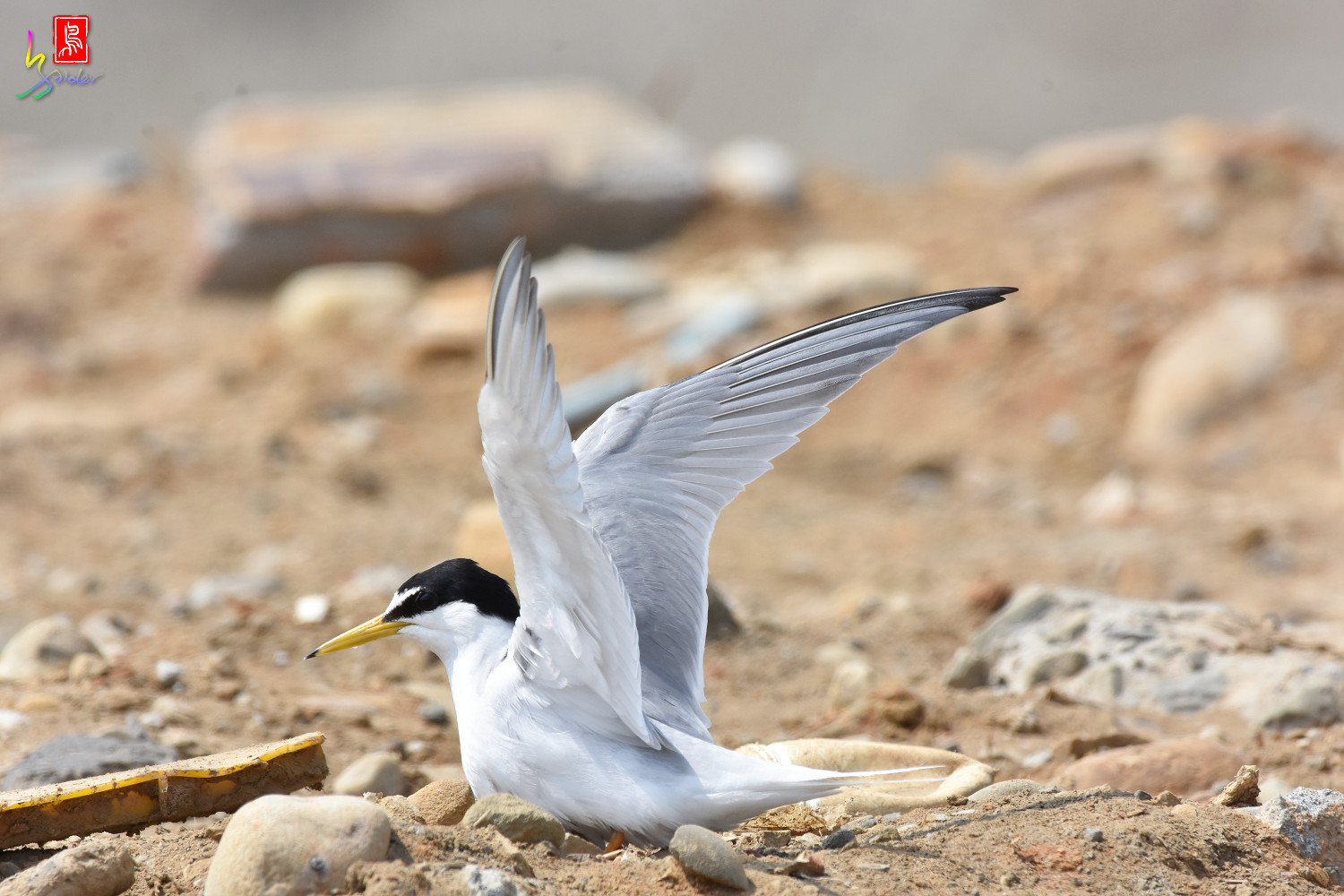 Little_Tern_9064