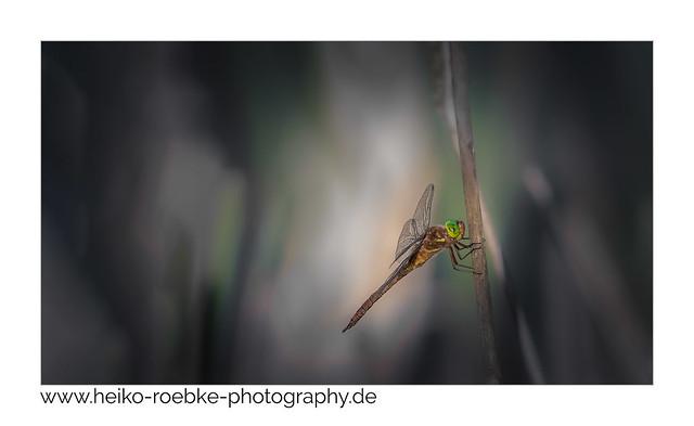 Keilfleck-Mosaikjungfer / green-eyed hawker