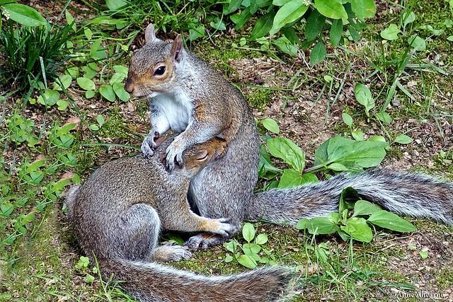 Gray Squirrels at Play