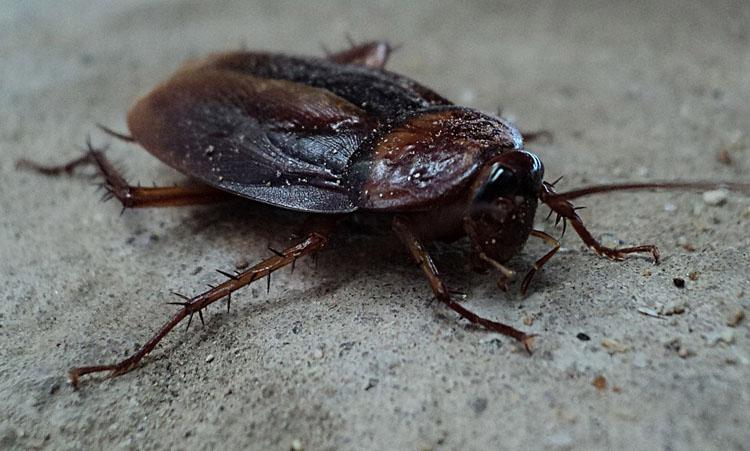 cockroach-70295_960_7201