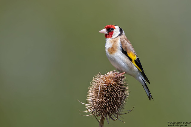 Goldfinch, Carduelis carduelis, Canon EOS 7D MARK II, Canon EF 500mm f/4L IS