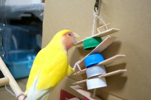 コザクラインコの放鳥遊び はしごと止まり木を自作