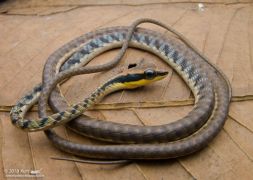 Dendrelaphis striatus_MG_1058 copy