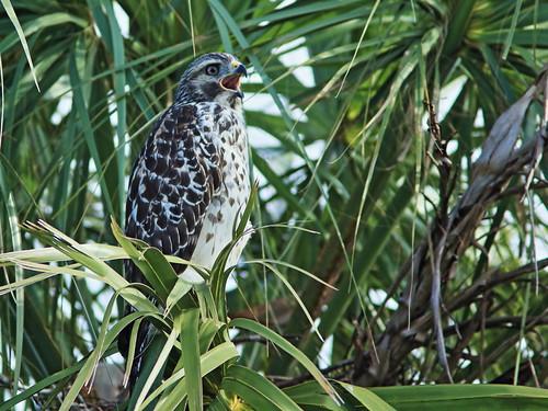 Red-shouldered Hawk juvenile 20180603