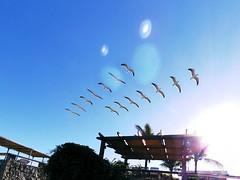 Par de gaivotas