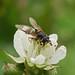Hoverfly ---- Dasysyrphus tricinctus