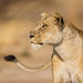 Lioness by Will Burrard-Lucas | Wildlife