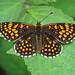 Heath Fritillary - Blean Woods IMG_5677