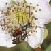 Black-striped Longhorn Beetles - Stenurella melanura