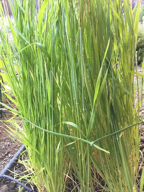 zip-tied wheat stalks